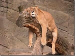 ライオンうつ伏せ