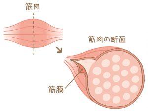 筋膜の説明。久留米市で筋膜リリース
